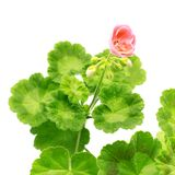 Pink geranium flower Stock Image