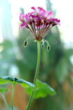 Pink Geranium Flower. Stock Photos