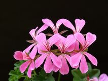 Pink Geranium flower Stock Photos