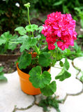 Pink Geranium flower in brown pot Royalty Free Stock Photography