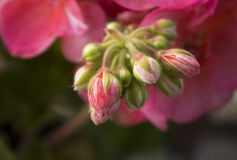 Pink Geranium flower buds. A closeup image of a cluster of pink Geranium flowers buds with flowers in the background. Buds in front are main focus with the other stock image