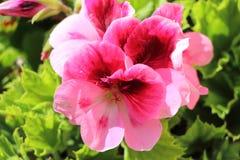 Pink geranium flower royalty free stock image