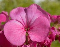 Pink Geranium flower close up Stock Images