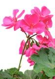 Pink Geranium flower, close up white background Stock Photo