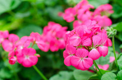 Pink geranium flower. Decorative in a garden royalty free stock photo