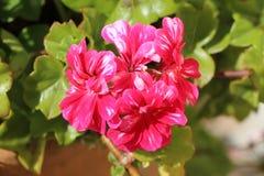 Pink geranium flower stock photos