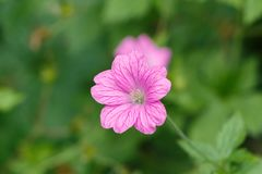 Pink geranium flower royalty free stock photos