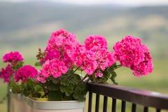 Geranium flower on balcony. Pink geranium flower growing in pot on balcony royalty free stock photos
