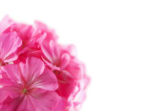 Pink geranium flower isolated Royalty Free Stock Images