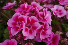 Pink geranium flower. Macro shot of garden and ornamental flowers, back, yard, bloom, leaf, plant, weed, green, area, nature, close-up, pollen, powder, beauty stock photography