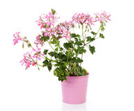 Pink Geranium flower in pot Royalty Free Stock Photos