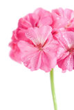 Pink geranium flower with water droplets isolated Royalty Free Stock Photo