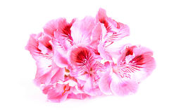 Pink Geranium flower on white Fotografía de archivo
