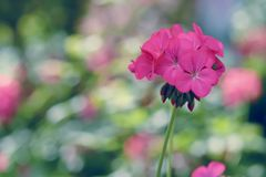 Pink geranium flower in winter Royalty Free Stock Images