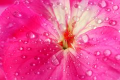 Free Pink Geranium Flower With Drops Of Dew Or Water On The Petals. Close-up Of Indoor Plants In Full Screen Stock Photos - 151329023