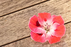 Pink Geranium Flower on Wood Background Royalty Free Stock Images