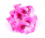 Pink geranium flowers. A flower bunch of bright pink geranium blossoms. Image isolated on white studio background royalty free stock photos
