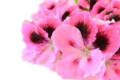 Pink geranium flowers Stock Photography