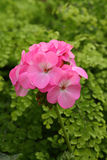Pink geranium flowers Royalty Free Stock Image