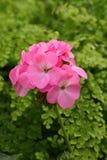 Pink geranium flowers Royalty Free Stock Image