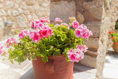 Pink Geranium flowers. In Agia Irini Monastery, Crete, Greece. Geranium is a genus of 422 species of flowering annual, biennial, and perennial plants that are royalty free stock photography