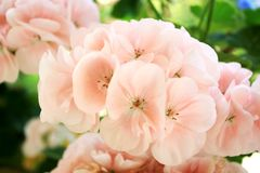 Pink geranium flowers. Pink and beautiful flowers in the summer Stock Photo