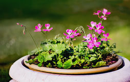 Pink geranium flowers. In a big pot royalty free stock image