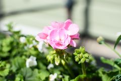 Pink geranium flowers in bloom royalty free stock photography