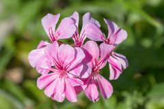 Pink geranium flowers in bloom in garden. Close up pink geranium flowers in garden. Floral background royalty free stock photography