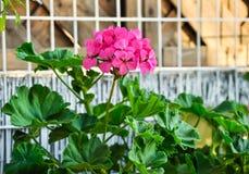 Pink Geranium Stock Photography