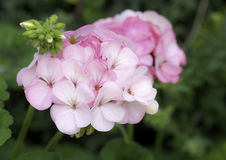 Pink Geranium flowers Stock Photography