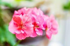 Pink geranium flowers close. Close up image of beautiful pink geranium flowers royalty free stock photos