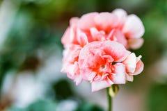 Pink geranium flowers close. Close up image of beautiful pink geranium flowers stock image