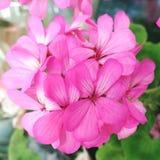 Pink geranium flowers. Closeup of pink geranium flowers stock photo