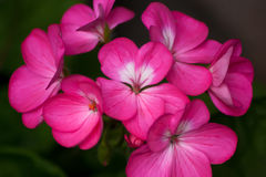 Pink Geranium Flowers. A cluster of pink Geranium flowers royalty free stock image
