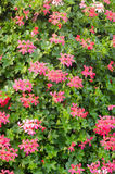 Pink geranium flowers Royalty Free Stock Photo