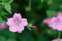 Pink geranium flowers stock image