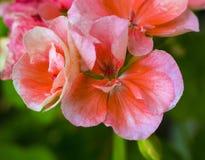 Pink geranium flowers. geraniums in a summer garden stock image