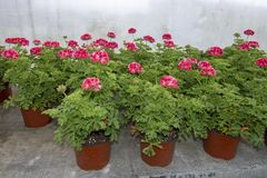 Pink geranium flowers in pots. In greenhouse. Spring garden series, Mallorca, Spain royalty free stock image