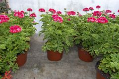 Pink geranium flowers in pots. In greenhouse. Spring garden series, Mallorca, Spain royalty free stock images