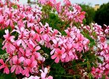 Pink geranium flowers in a summer garden.Garden flowers.Blooming pelargonium. Selective focus royalty free stock image