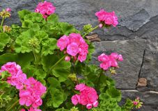 Pink geranium flowers in summer garden on a grey stone wall background.Blooming pelargoniums. Ornamental gardening concept with copy space.Selective focus stock image