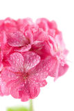 Pink geranium flowers with water droplets isolated. Macro of pink geranium flowers with water droplets isolated stock photos