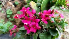 Pink geranium. In the garden stock photos