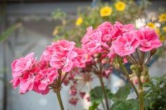 Pink geranium in a garden Royalty Free Stock Photos