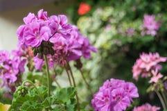 Pink geranium in a garden Royalty Free Stock Photo