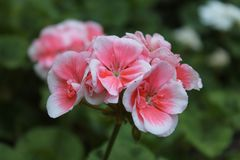 Pink geranium. In the garden. Springtime royalty free stock photography
