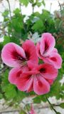 Pink Geranium. Geranium is a genus of 422 species of flowering annual, biennial, and perennial plants. Often used in gardening for its attractive flowers and its stock photography