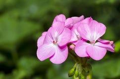 Pink Geranium ( Palargonium x hortorum ) Stock Image