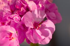Pink Geranium. In my backyard royalty free stock photography